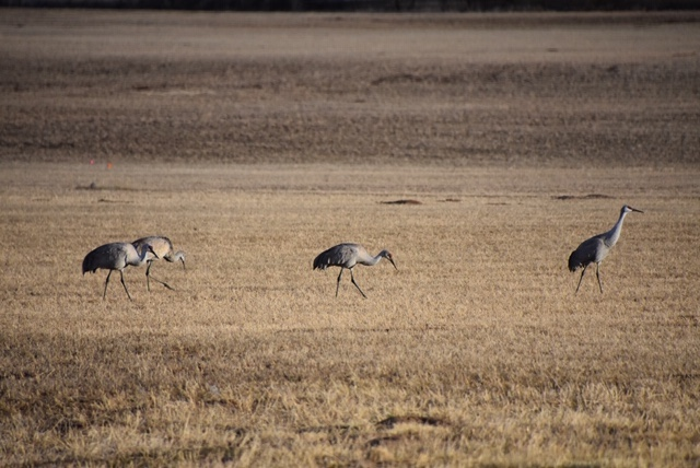 Photos: Sandhill Cranes Spotted in Bluff