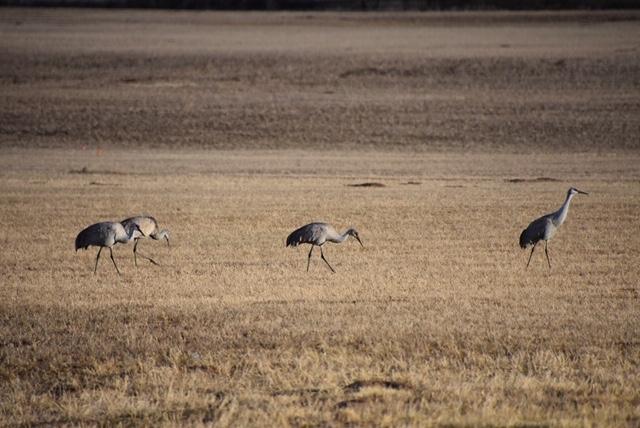 Photos: Sandhill Cranes Spotted inBluff