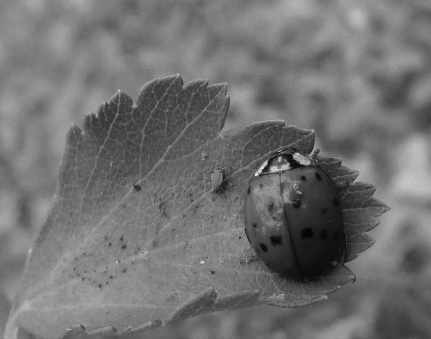 Ladybug_And_Aphid_(9438720000)